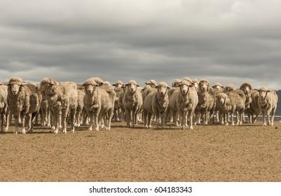 Australian Merino Sheep grazing in rural New South Wales, Australia.