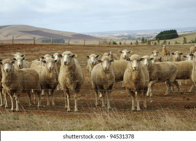 Australian merino sheep on rural sheep farm property looking