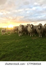 Australian Merino Sheep with the sunsetting in the background in the Murray Mallee South Australia.
