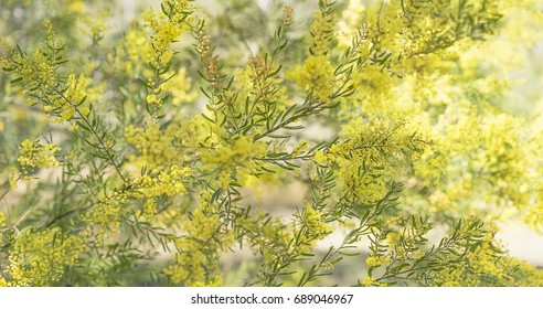 Australian native acacia tree, Brisbane or Fringed Wattle, in full yellow fluffy flowers in winter and spring for a floral background in panorama form