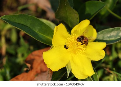 Australian Native Bee and Honey Bee feeding at Hibertia flower