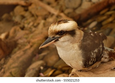 australian native bird named laughing kookaburra