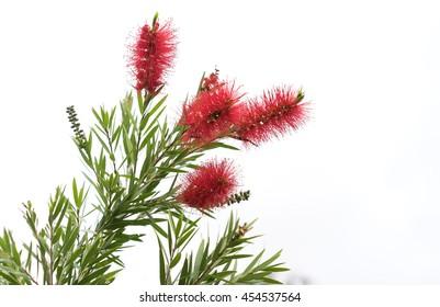 Australian native Bottlebrush, natural Callistemon flowers with green foliage