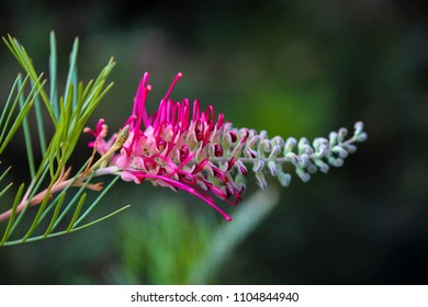 Australian native bush.. the Grevillea has a unique and beautiful flower...