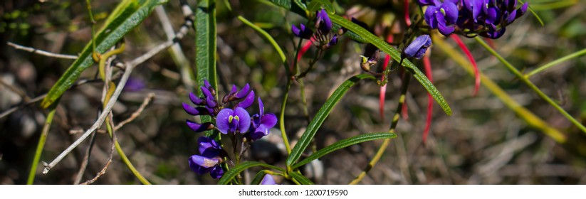 Australian native creeper Hardenbergia violaceae with deep purple pea shaped flowers in late winter bloom adds color to the bush and park lands.