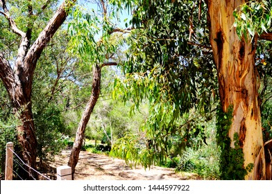 Australian native eucalyptus gum tree framing natural bush setting and walking trail on summer day in Belair, South Australia.
