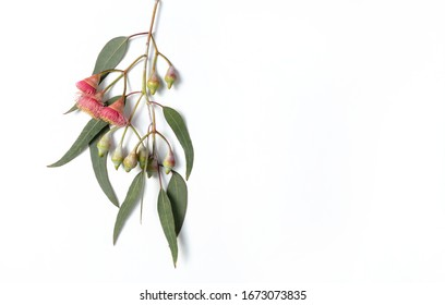 Australian native eucalyptus leaves and flowering gum nuts on a white background photographed from above.