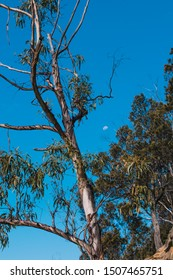 Australian native eucalytpus tree also know as gum tree with moon in the distance in the daylight