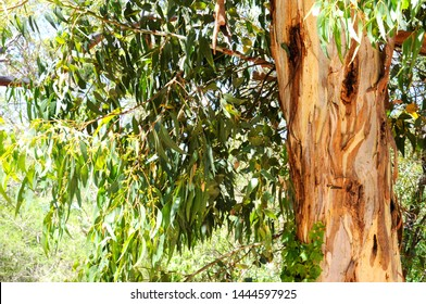 Australian native eucaplytus gum tree framing natural bush setting on summer day in Belair, South Australia.