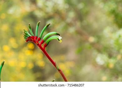 Australian native flower, The Kangaroo Paw, isolated against an out of focus background. Closeup/Macro flower. Anigozanthos manglesii.