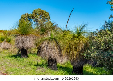 Australian native Grass Trees in the bush with flora and fauna