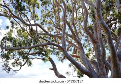 Australian native gum tree eucalyptus white branches