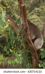 An Australian native Koala eating eucalyptus leaves from a tree