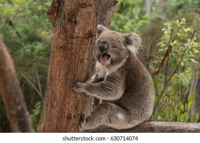 An Australian native Koala sitting in a tree yawning widely