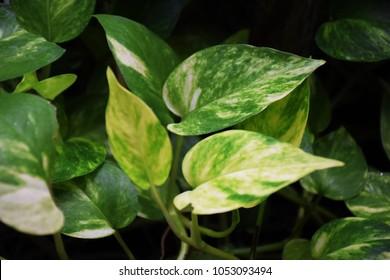 Australian native monstera, centipede tongavine, devil's ivy, golden pothos, hunter's robe, ivy arum, money plant, silver vine, Solomon Islands ivy