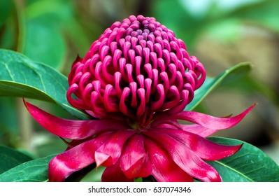Australian native red and magenta Waratah flower. Flower head.
