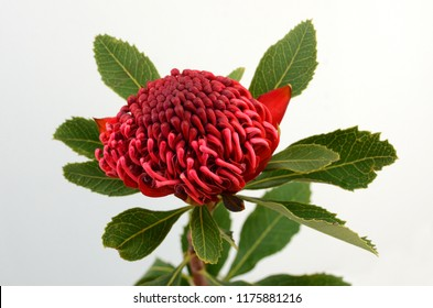 Australian native red Waratah flower with leaves and stem isolated on white background