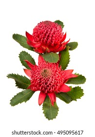 Australian native red Waratah flower with leaves isolated on white background