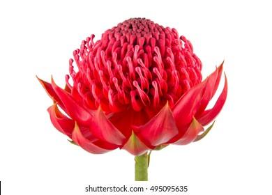 Australian native red Waratah flower head isolated on white background