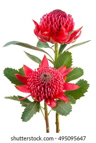 Australian native red Waratah flowers with leaves and stem isolated on white background