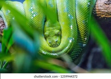 australian native snake in natural habitat.