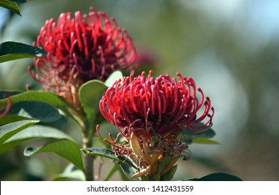 Australian native Telopea Shady Lady variety of waratah flower, family Proteaceae. Hybrid between Telopea speciosissima and Telopea oreades species