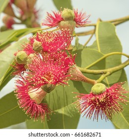 Australian native tree Corymbia ptychocarpa with red eucalyptus flowers and green gum leaves