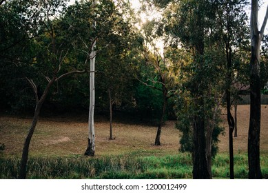 Australian native trees in parkland at sunset in Collingwood Park Ipswich
