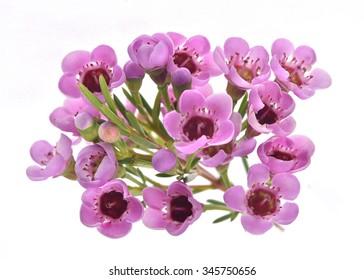 Australian native wild flower pink Geraldton Wax, chameleucium uncinatum isolated on white