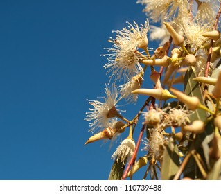 Australian native wildflowers Eucalyptus tereticornis white flowers against blue sky