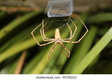 Australian Net Casting Spider Deinopis subrufa