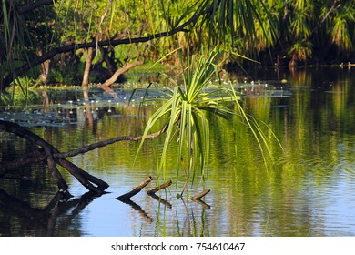 Australian northern territory river with pandanus tree