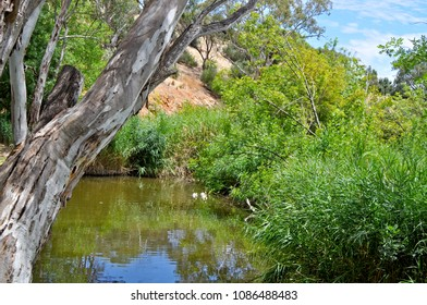 Australian outdoor natural setting with large pond surrounded by Australian eucalyptus trees and bushland. Lake in the Barossa Valley.
