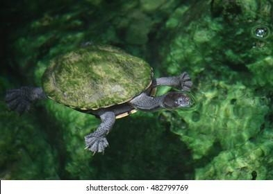 Australian Pancake Turtle