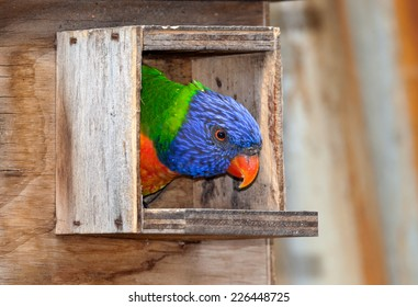 australian parrot very noisy and very bright colors the lorikeet