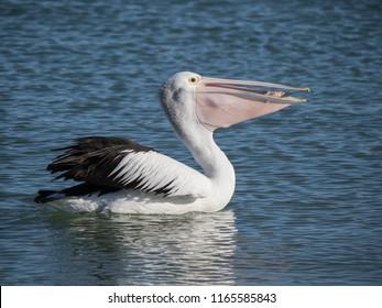 Australian Pelican Bird
