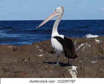 Australian Pelican (elecanus conspicillatus)