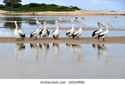 Australian Pelican, The Entrance, Central NSW, Sydney, Australia. large huge black white fish eating aussie bird in ocean sea water lake setting