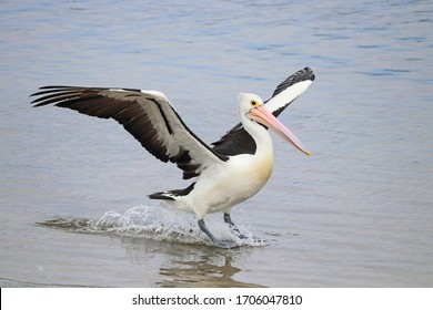 Australian pelican landing on the water
