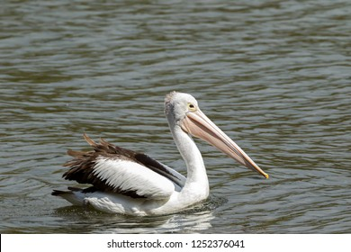 Australian Pelican large waterbird swimming in water in Western Australia (Pelecanus conspicillatus)