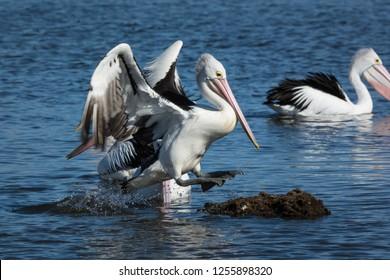 Australian Pelican leaps from the water to perch on rock, Pelecanus Conspicillatus. Jumping waterbird.