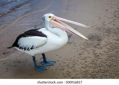 Australian pelican on a beach, Queensland, Australia