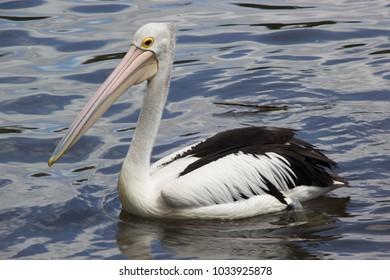 Australian pelican on Torrens River, Adelaide, South Australia