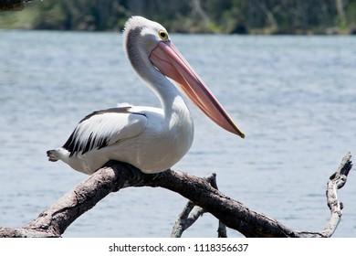Australian pelican on the twig in the wilderness