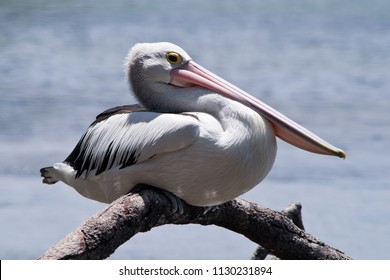 Australian pelican on the twig in the wilderness