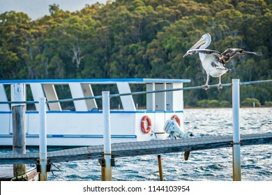 Australian pelican Pelecanus conspicillatus about to take off in a harbour with a boat in the background