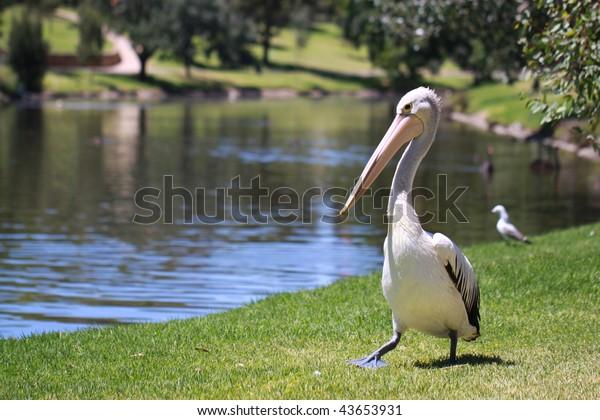 Australian Pelican - Pelecanus Conspicillatus - along the River Torrens, Adelaide, Australia