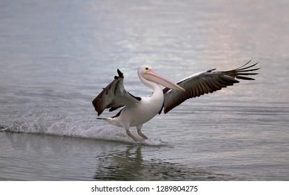 Australian Pelican (Pelecanus conspicillatus), American River, Kangarro Island, South Australia, Australia.