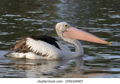 Australian pelican (Pelecanus conspicillatus), Australia