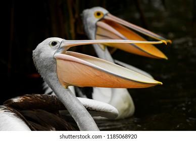 Australian Pelican - Pelecanus conspicillatus, beautiful large water bird from inland and coastal water of Australia and Indonesia.